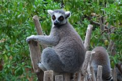 Lemur 2. Lemur  in the zoopark of Valencia Royalty Free Stock Image