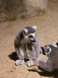 Lemura śmieszny zwierzęcy ssak Madagascar Fotografia Royalty Free