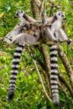 Lemura catta Madagascar obraz stock