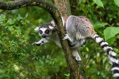 Lemura catta w zoo zdjęcie royalty free