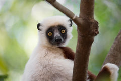 Lemura Coquerel ` s sifaka Propithecus coquereli Obraz Royalty Free