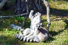 lemura ogoniasty ringowy Fotografia Royalty Free