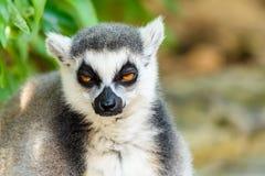 Lemura portret Na Madagascar Obraz Stock