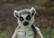 Lemurcatta/cirkel Tailed Lemur Royaltyfria Foton