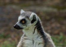 Lemurcatta/cirkel Tailed Lemur Royaltyfri Fotografi