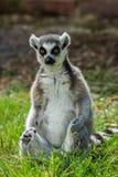 Lemurcatta/cirkel Tailed Lemur Royaltyfri Foto