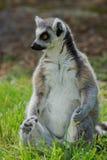 Lemurcatta/cirkel Tailed Lemur Fotografering för Bildbyråer