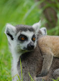 Lemurcatta/cirkel Tailed Lemur Royaltyfria Bilder