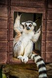 Lemurchik Soft And Fluffy Animal Stock Photo