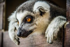 Lemurchik Soft And Fluffy Animal Stock Image