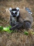 lemurcirkeln tailed Royaltyfri Foto