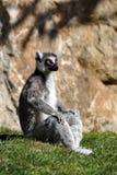 Lemure Imagem de Stock