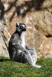 Lemure Immagine Stock