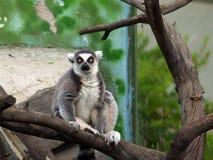 Lemure Fotografie Stock