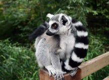 Lemure Fotografia Stock Libera da Diritti