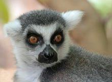 Lemure Fotografie Stock Libere da Diritti