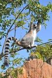 Lemure Immagini Stock