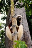 Lemure zdjęcia stock
