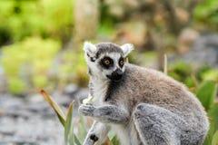 Lemure attente che guardano a sinistra Immagine Stock