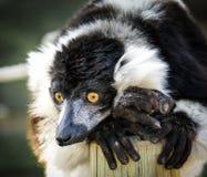 Lemure in bianco e nero Fotografia Stock