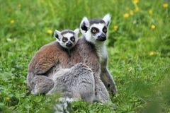 Lemure catta Immagine Stock