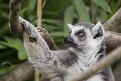Lemure catta obraz royalty free