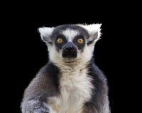 Lemure catta Fotografia Stock Libera da Diritti