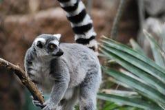 Lemure catta adorabili che aderiscono ad una vite Fotografie Stock