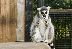 Lemure catta arrabbiate stesse che rompono una piuma, una rabbia d'espressione animale e una frustrazione immagine stock libera da diritti