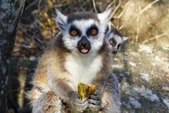 Lemure catta (catta delle lemure) e tazza sveglia, Madagascar Immagine Stock Libera da Diritti