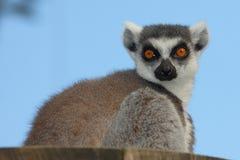 Lemure catta che esaminano macchina fotografica Fotografia Stock