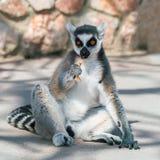 Lemure catta che mangiano sulla terra immagine stock libera da diritti
