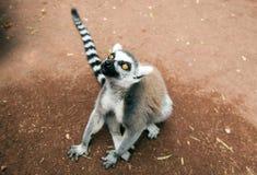 Lemure catta che rispettano il cielo fotografia stock libera da diritti