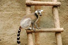 Lemure catta che si siedono su una scala di legno allo zoo fotografia stock