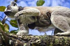 Lemure catta con il suo bambino sveglio Immagini Stock Libere da Diritti