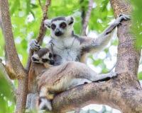 Lemure catta delle lemure catta (catta delle lemure) Fotografie Stock