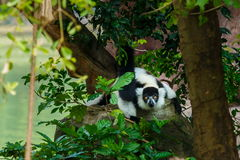 Lemure, catta delle lemure delle lemure catta, animale, fauna selvatica Fotografia Stock Libera da Diritti