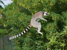 Lemure catta di salto Immagine Stock