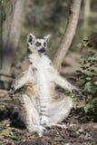 Lemure catta divertenti che prendono il sole in un giorno soleggiato Immagine Stock