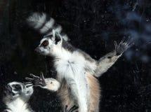 Lemure catta (lemure Catta) dietro uno zoo di vetro dell'uccelliera Fotografia Stock Libera da Diritti