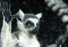 Lemure catta (lemure Catta) dietro uno zoo di vetro dell'uccelliera Immagini Stock Libere da Diritti