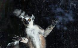 Lemure catta (lemure Catta) dietro uno zoo di vetro dell'uccelliera Immagini Stock