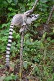 Lemure catta, Madagascar Fotografia Stock Libera da Diritti