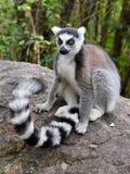 Lemure catta, Madagascar Immagini Stock Libere da Diritti