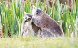 Lemure catta prendenti il sole nella cattività Immagini Stock Libere da Diritti