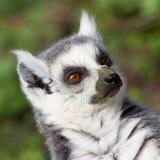 Lemure catta prendenti il sole nella cattività Fotografia Stock
