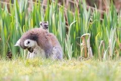 Lemure catta prendenti il sole nella cattività Fotografia Stock Libera da Diritti