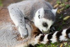 Lemure catta prendenti il sole nella cattività Immagine Stock Libera da Diritti