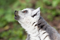Lemure catta prendenti il sole nella cattività Immagine Stock