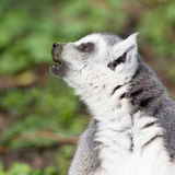 Lemure catta prendenti il sole nella cattività Fotografie Stock Libere da Diritti